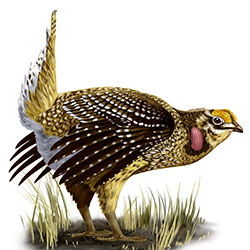 Sharp-tailed Grouse Body Illustration