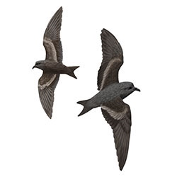 Ashy Storm-Petrel Flight Illustration.jpg