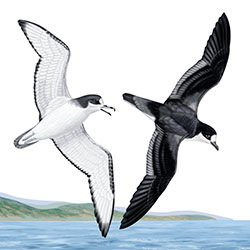 Stejneger's Petrel Flight Illustration