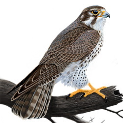 Prairie Falcon Body Illustration