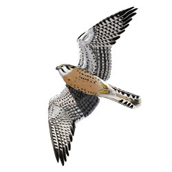 American Kestrel Flight Illustration