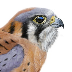 American Kestrel Head Illustration