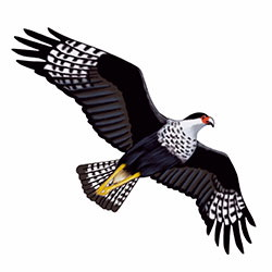 Crested-Caracara Flight Illustration