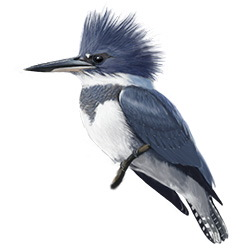 Belted Kingfisher Body Illustration