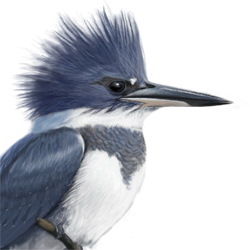 Belted Kingfisher Head Illustration