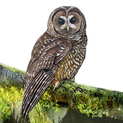 Spotted Owl Body Illustration.jpg
