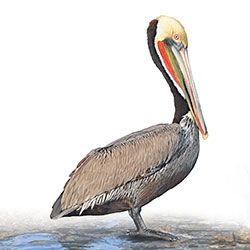 Brown Pelican Body Illustration