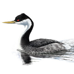 Western Grebe Body Illustration