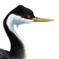 Western Grebe Head Illustration
