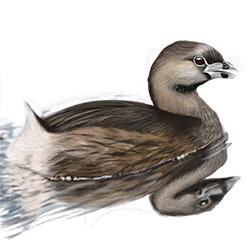 Pied-billed Grebe Body Illustration