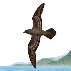 Wedge-tailed Shearwater Body Illustration