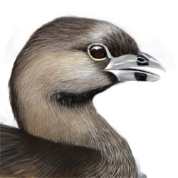 Pied-billed Grebe Head Illustration