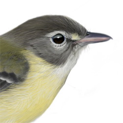 Bell's Vireo Head Illustration