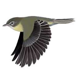 Bell's Vireo Flight Illustration