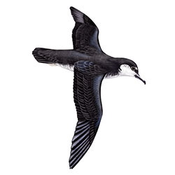Audubon's Shearwater Body Illustration