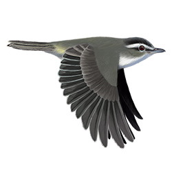 Red-eyed Vireo Flight Illustration