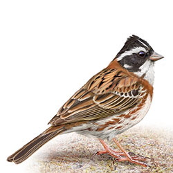 Rustic Bunting Body Illustration
