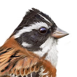 Rustic Bunting Head Illustration