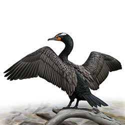 Double-crested Cormorant Body Illustration