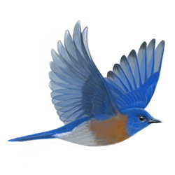 Western Bluebird Flight Illustration