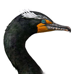Double-crested Cormorant Head Illustration