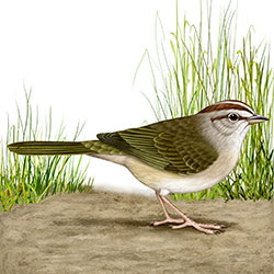 Olive Sparrow Body Illustration