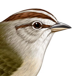 Olive Sparrow Head Illustration
