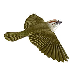 Olive Sparrow Flight Illustration