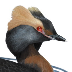 Horned Grebe Head Illustration