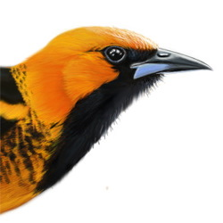 Spot-breasted Oriole Head Illustration
