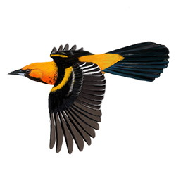 Spot-breasted Oriole Flight Illustration