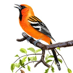 Streak-backed Oriole Body Illustration