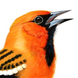 Streak-backed Oriole Head Illustration