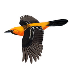 Streak-backed Oriole Flight Illustration
