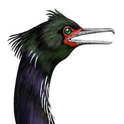 Pelagic Cormorant Head Illustration