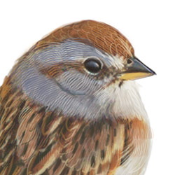 American Tree Sparrow Head Illustration