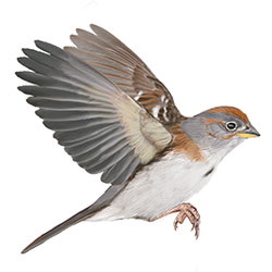 American Tree Sparrow Flight Illustration