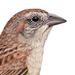 Botteri's Sparrow Head Illustration.jpg