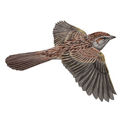 Botteri's Sparrow Flight Illustration.jpg
