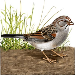 Rufous-winged Sparrow Breeding Male Body Illustration