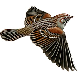 Rufous-winged Sparrow Breeding Male Flight Illustration
