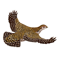 Lesser Prairie-Chicken Flight Illustration