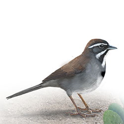 Five-striped Sparrow Body Illustration