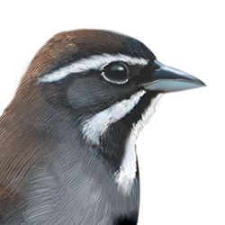 Five-striped Sparrow Head Illustration