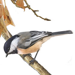 Black-capped Chickadee Body Illustration.jpg