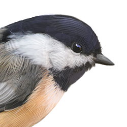 Black-capped Chickadee Head Illustration.jpg