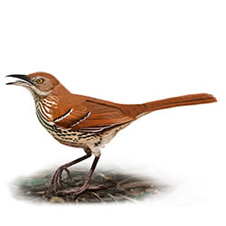 Brown Thrasher Body Illustration.jpg