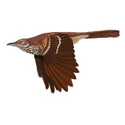 Brown Thrasher Flight Illustration.jpg