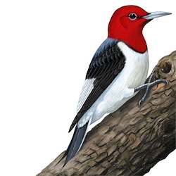 Red-headed Woodpecker Body Illustration