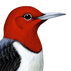 Red-headed Woodpecker Head Illustration